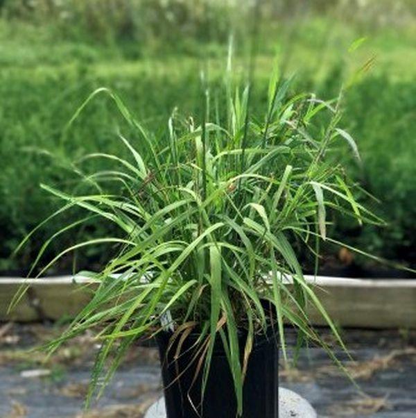Skyracer Purple Moor Grass Image