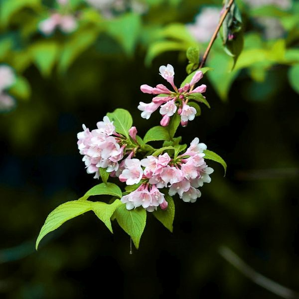 Snippet Lime® Weigela