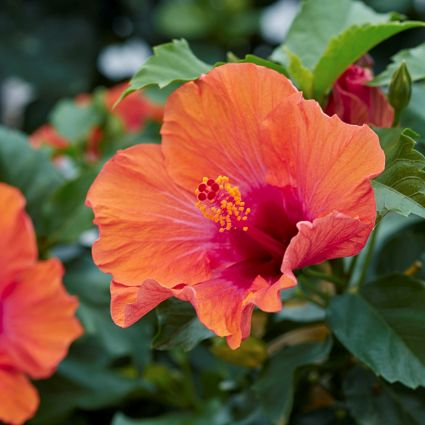 Hollywood™ Hibiscus Starlette™