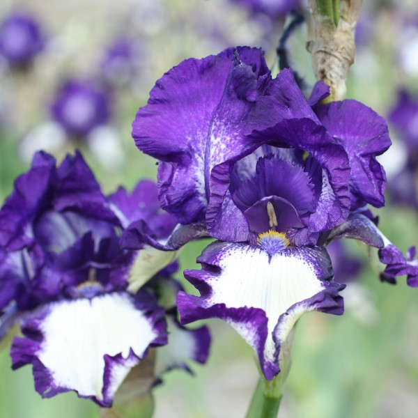 Stepping Out Tall Bearded Iris