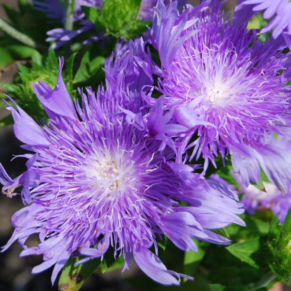 Peachies Pick Stokes Aster