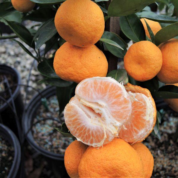 Sudachi Mandarin