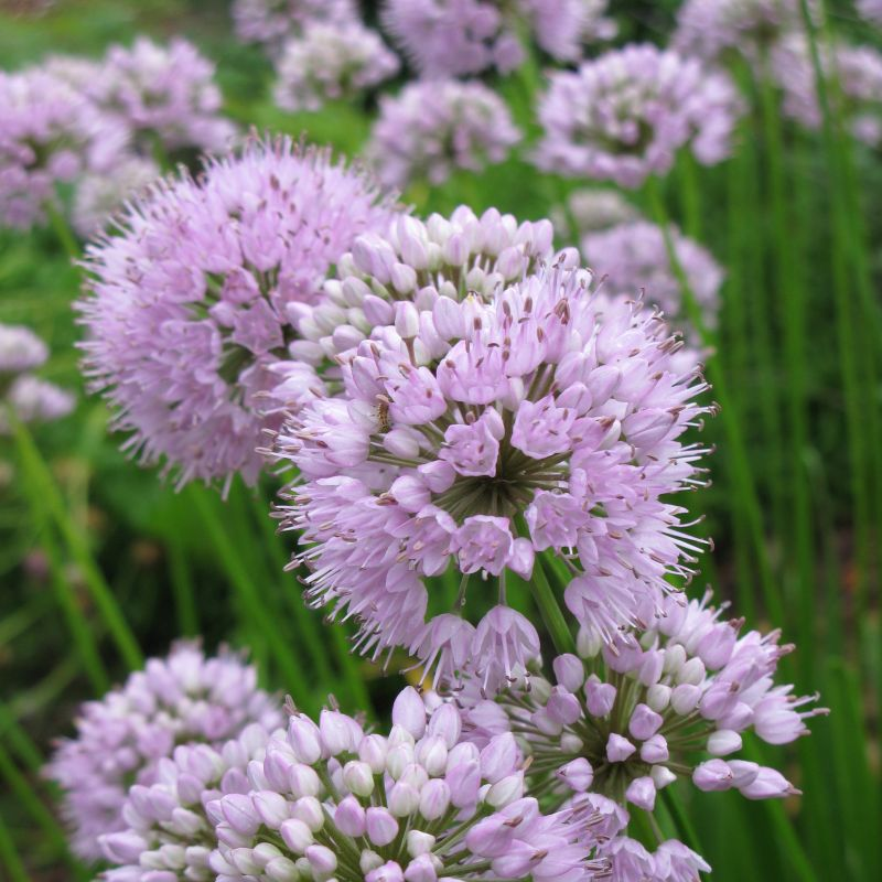 Summer Beauty Allium