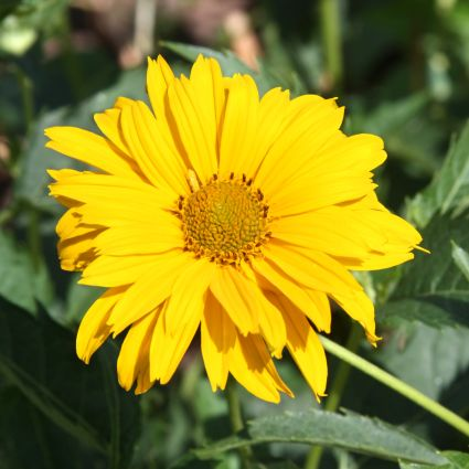 Summer Sun Sunflower Heliopsis