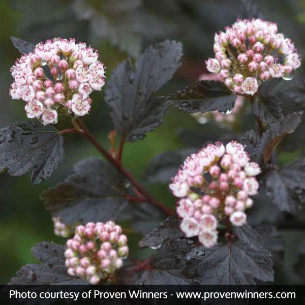 Image of Summer Wine® Ninebark Tree Form