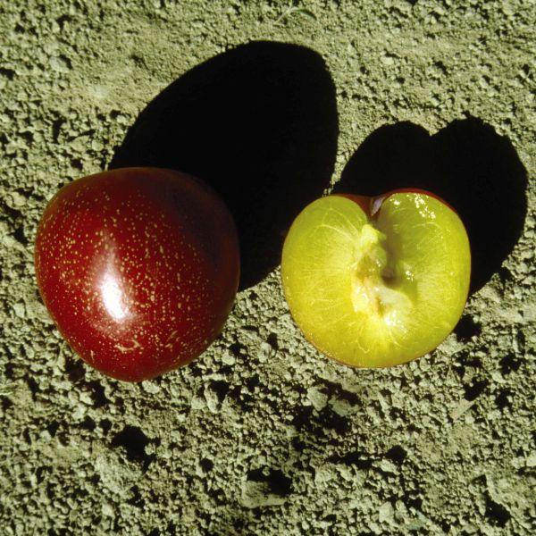 Goshiki Kotohime Japanese Maple