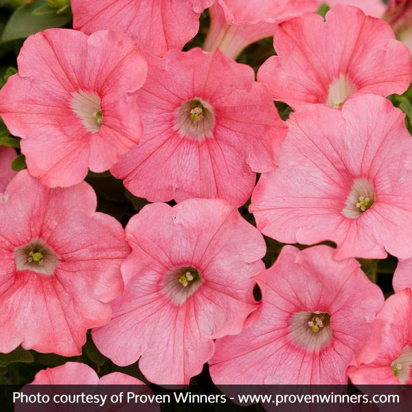 Supertunia® Bermuda Beach® Petunia