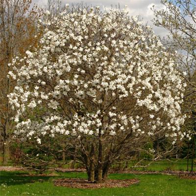 Flowering trees for sale magnolia pear nature hills nursery mightylinksfo Gallery