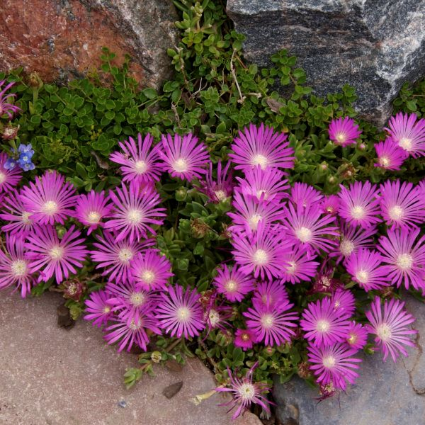 Table Mountain Ice Plant