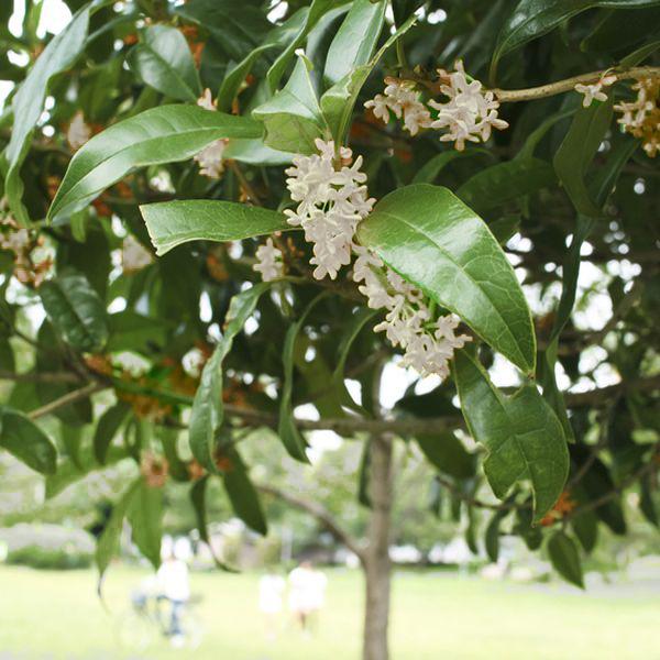 Image of Tea Olive Tree