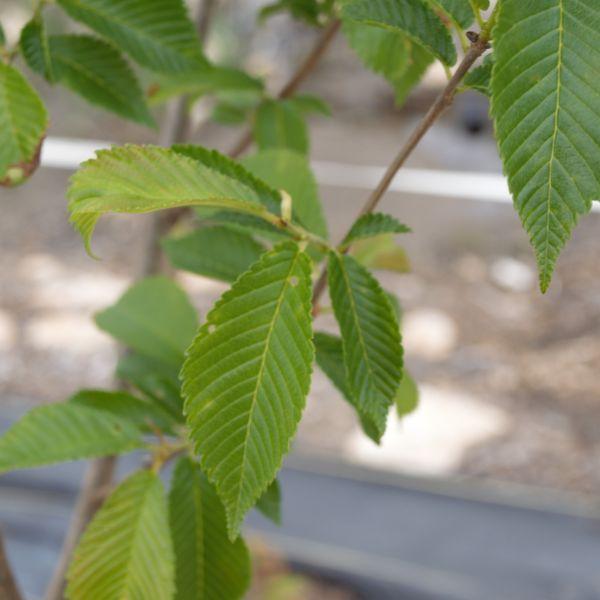 Triumph Elm Tree