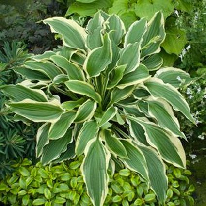 Tropical Dancer Hosta