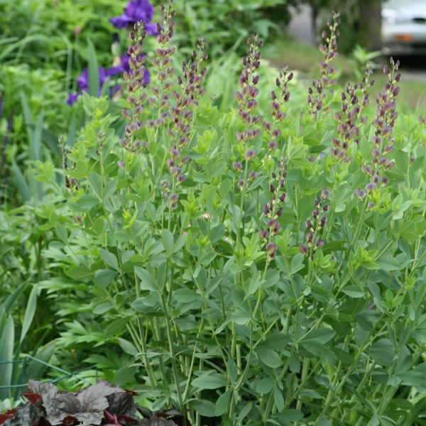 Twilite Prairieblues False Indigo