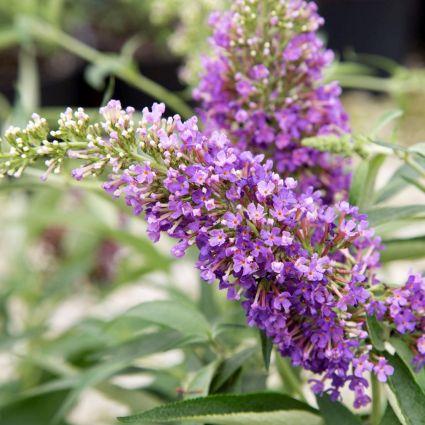 Ultra Violet Butterfly Bush