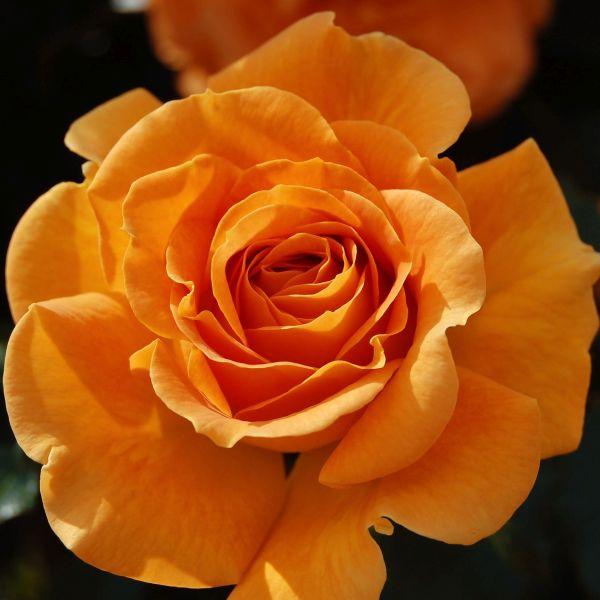 Vavoom Rose