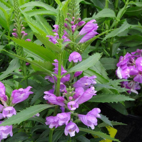 Vivid Obedient Plant