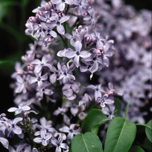 Wedgewood Blue Lilac