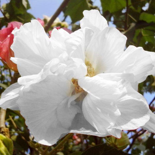White Pillar Rose of Sharon