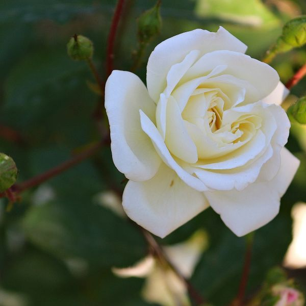 Home and Family Hybrid Tea Rose