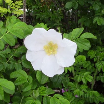 White Rugosa Rose