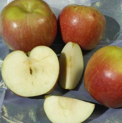 Winesap Apple Tree