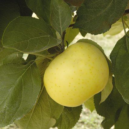 Yellow Transparent Apple Tree