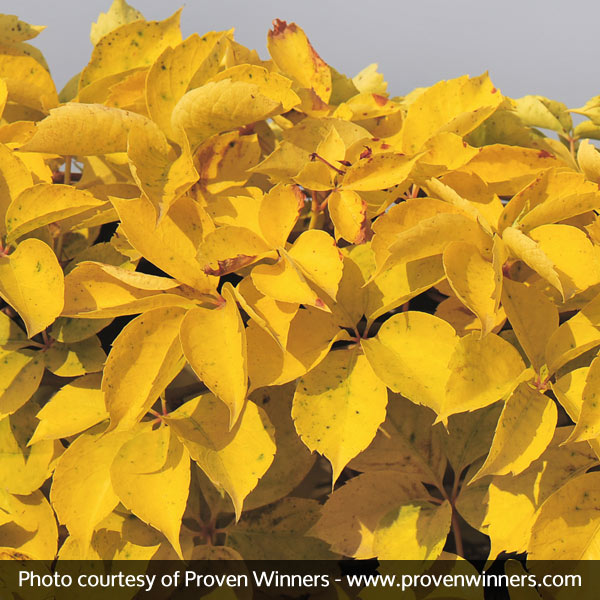 Yellow Wall Virginia Creeper