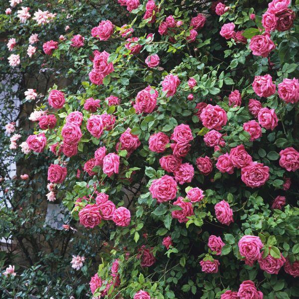 Zephirine Drouhin Climbing Rose