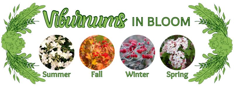 Different Colors of the Viburnum