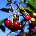 Bing Cherry Tree