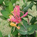 Goldflame Honeysuckle