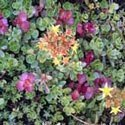 Color Splash Sedum Tiles
