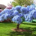 Blue Chinese Wisteria Tree Form
