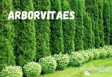 #ProPlantTips: Arborvitaes
