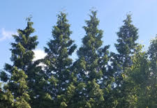 Green Giant Western Arborvitae as a Tall Screen