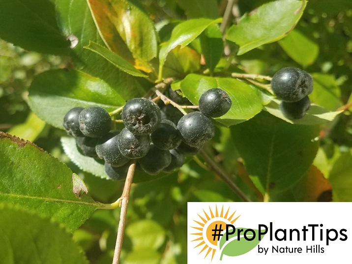 Harvest Time For Your Super Berries From The Aronia Plants