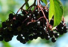 Are Elderberries Safe to Eat, Or Are They Poisonous?