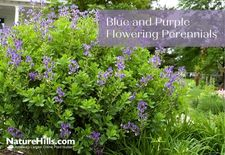 Classic Colors Blue & Purple Flowering Perennials
