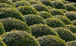 Boxwood Offer Beauty, Versatility in Any Landscape