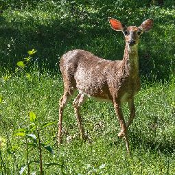 Tips & Tricks to Help Make Deer Resist Your Plants
