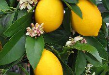 Bringing Citrus Trees Indoors