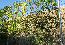How to Prune and Train Espalier Fruit Trees