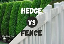 #ProPlantTips - Arborvitae Hedge vs Fence?