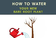 How to Water Your New Bare Root Plant
