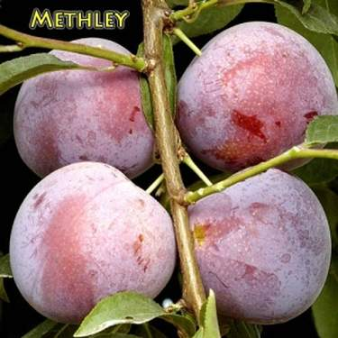 The Methley Plum, One of Nature's Best