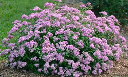 Introducing an Improved, Well-Behaved Spirea
