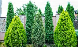 Almost Everything You Need to Know About Privacy Trees and Shrubs