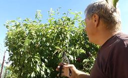 Summer Pruning Tips for 3 Fruit Trees Planted in 1 Hole, or High Density Planting