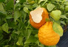 Solutions for the Top 6 Diseases and Pests of Home Grown Citrus