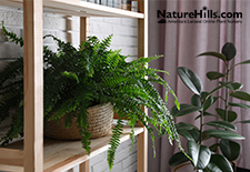 Best Ferns For Your Home